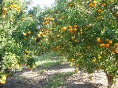 Frutíferas - Mudas Herculândia - Mudas Frutíferas, Plantas Ornamentais, Palmeiras e Arvores.
