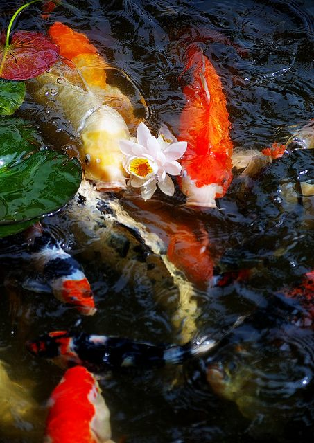 59 best images about pond fish on pinterest japanese koi for Japan koi fish pond