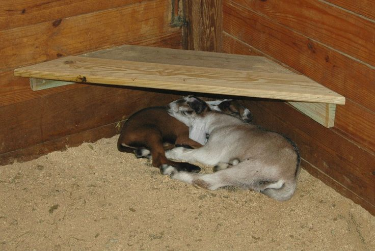 #goatvet says a great idea to give kids a safe place to sleep so they don't get stepped on by the other goats