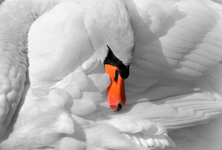#dier #foto #gratis #natuur #snavel #veren #vogel #wit #zwaan