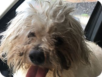 4/27/17 Winsted, CT - Havanese/Maltese Mix. Meet sam, a dog for adoption. http://www.adoptapet.com/pet/18025540-winsted-connecticut-havanese-mix