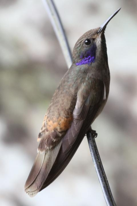 Brown Violet-Ear Hummingbird, large hummingbird that breeds in mountains of Central America, western & northern South America, Trinidad & Brazilian state Bahia.