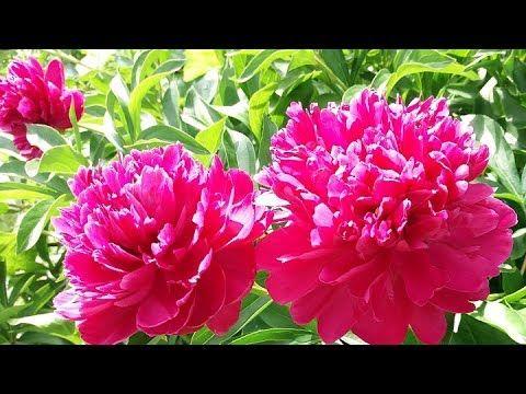 Цветы пионы. Красивые бордовые пионы. Натуральный футаж