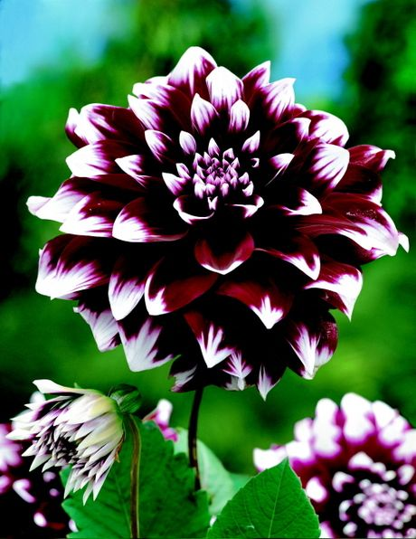 1172 best dahlia images on pinterest | pretty flowers, flowers and