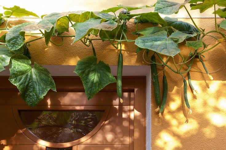 Ezzel a régi módszerrel végre neked is hatalmasra növő bőtermő uborkád lehet! Az uborkatermesztés fortélyai – Legyen akkora az uborkád, mint a dédnagymamámé!