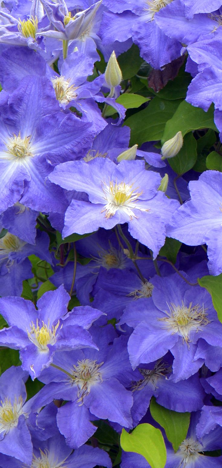 Brother Stefan Clematis Sp Ultra Violet Plants Clematis