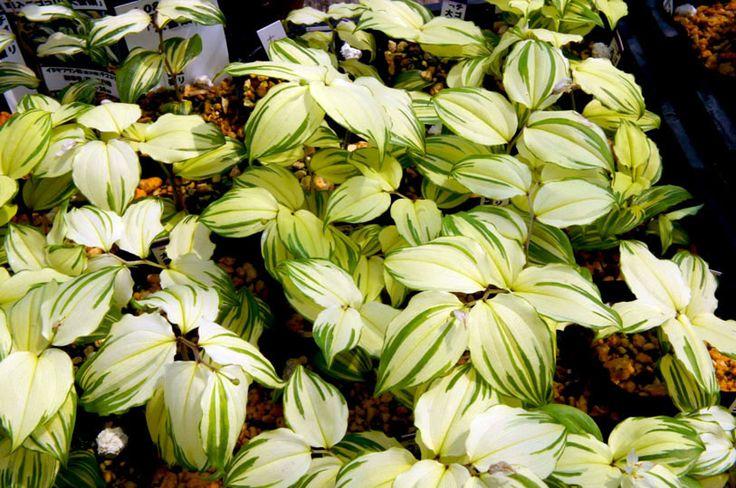 Disporum smilacinum 'Daisetsurei'