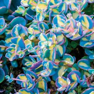 "Variegated Creeping Blue Sedum~Creeping Blue features round, blue foliage with a deep pink line, changing to all pink each winter. Variegated offers buttery yellow and silvery-blue oval leaves. Delicate pink flowers are a treat for birds and butterflies. Product Information: Light: Full sun to partial shade Height: 6-12"" Bloom Time: Late summer to early fall Zones: 5 to 9"