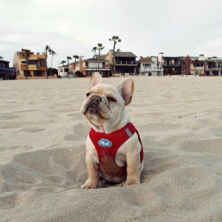"""""""Aaaaaahh....quicksand"""", overly Dramatic French Bulldog at the Beach"""