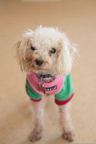 Cute Muttville mutt: Trinket 2276 (Toy poodle | Size: toy (under 6 lbs))