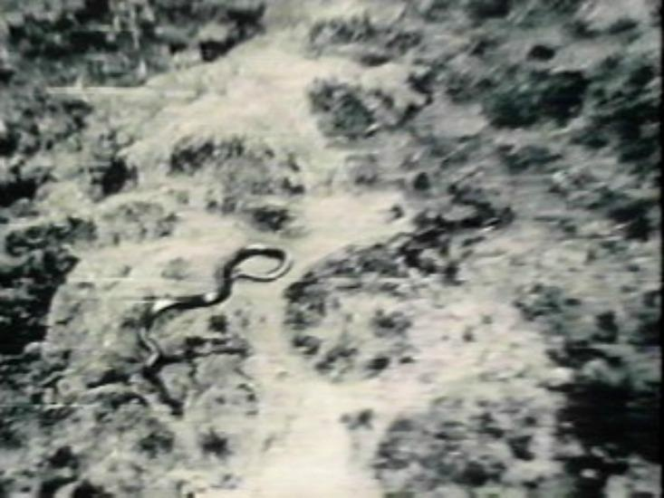 """""""Giant Congo Snake"""", 40 - 50 ft long.  Picture taken in 1959."""