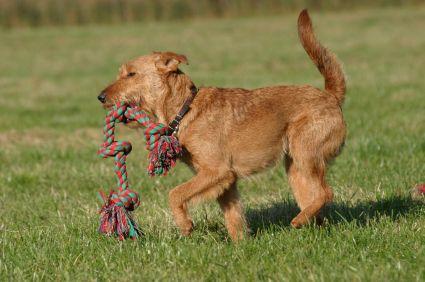 Irish Terrier Breed Information