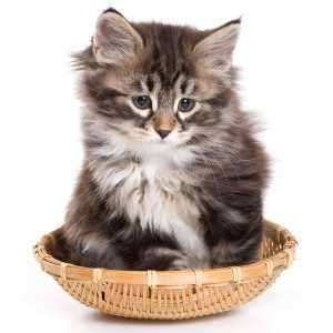 Siberian Kittens For Sale from top Siberian Cat Breeders