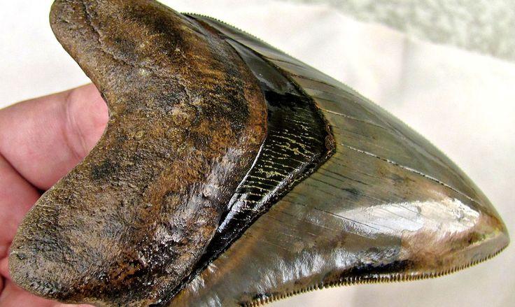 Isto é interessante. Extinto tubarão gigante Megalodon pesava quase cinquenta toneladas e tinha os dentes comprimento de 15 centímetros!