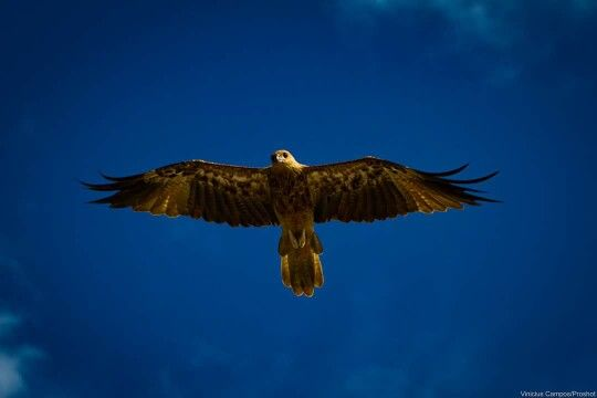 #fly #gavião #Darwin #Austrália #natureza