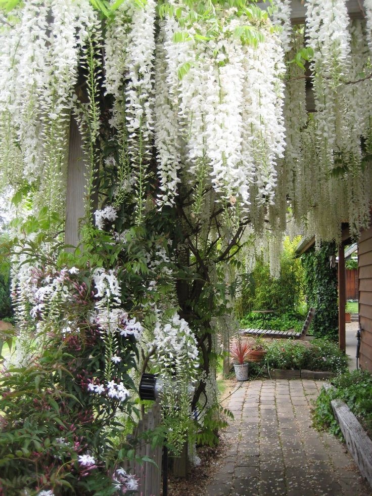 Wisteria Hanging In Sheer Curtains D Over The Trees And Supports Letting