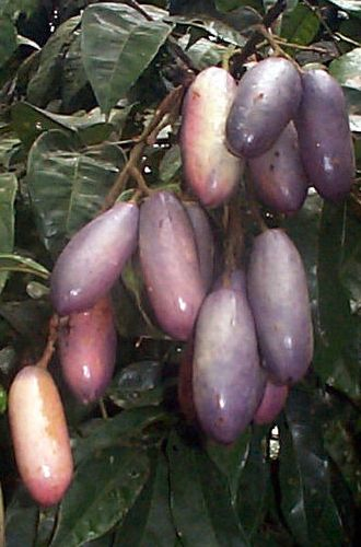 Safou also called atanga or butter fruit is a fruit tree native to Africa. Has a rich buttery pulp that smells like citrus and has a slight acidic taste.