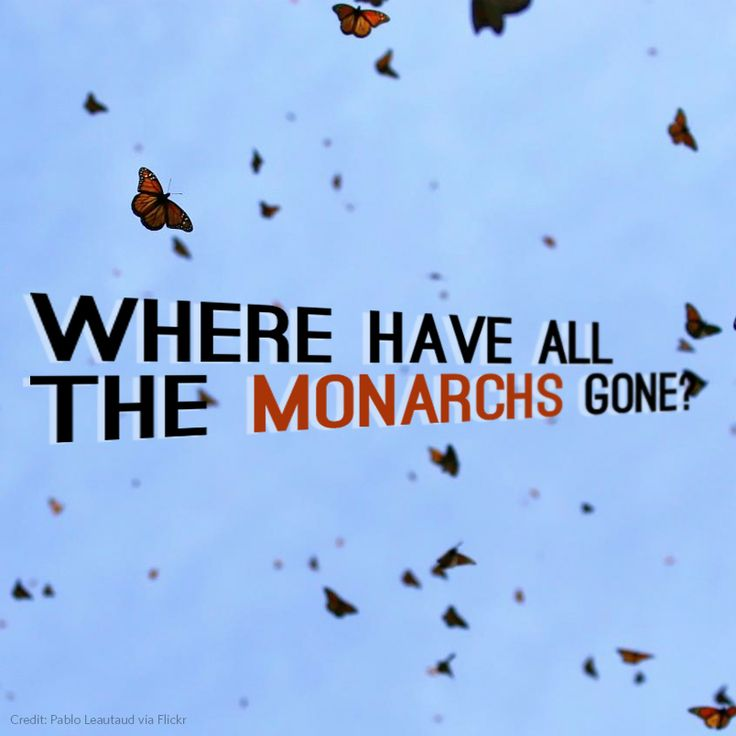 Is the monarch butterfly migration fluttering towards extinction?