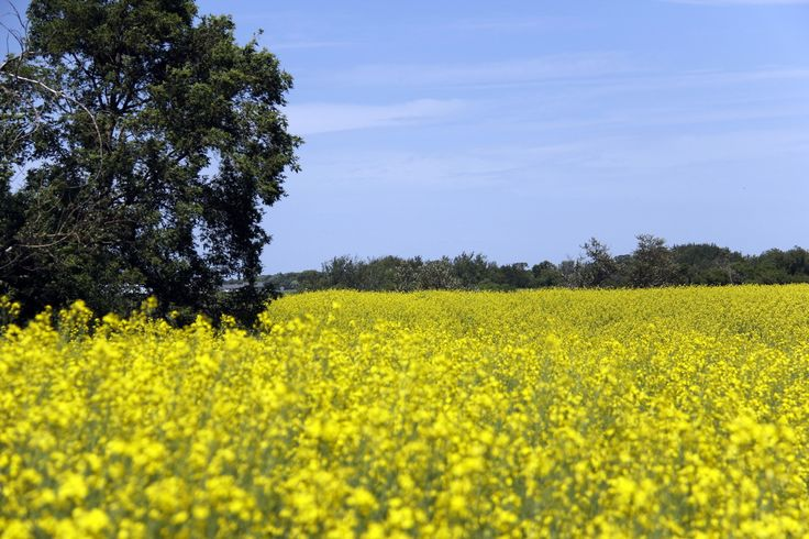 A field of canola near Lavenham, Manitoba A day getting lost in the beauty of the prairies. - Truly You Life Coaching