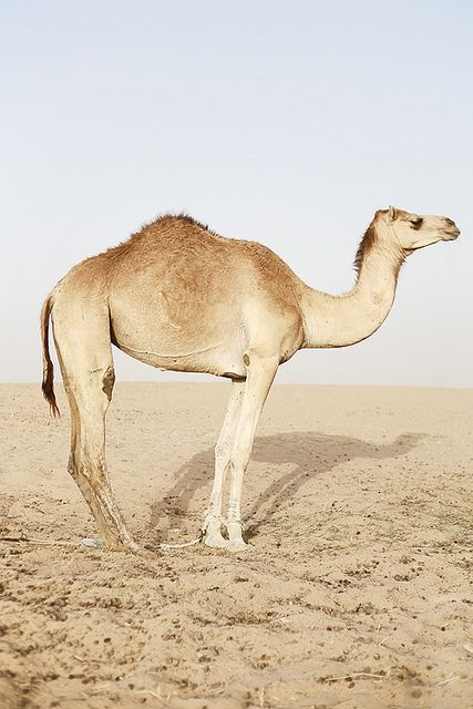 by Hans Palmboom #camel #animal