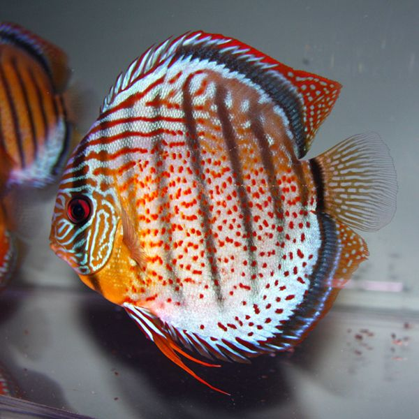 Kuvahaun tulos haulle nanay wild discus - this is what I wasn't to see in my next discus tank!