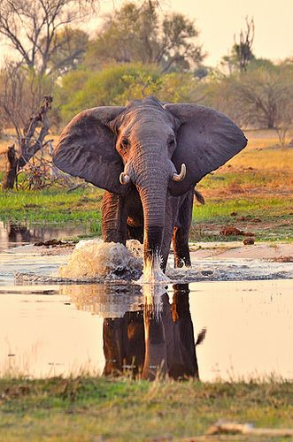 An African Elephant in the water                                                                                                                                                                                 More