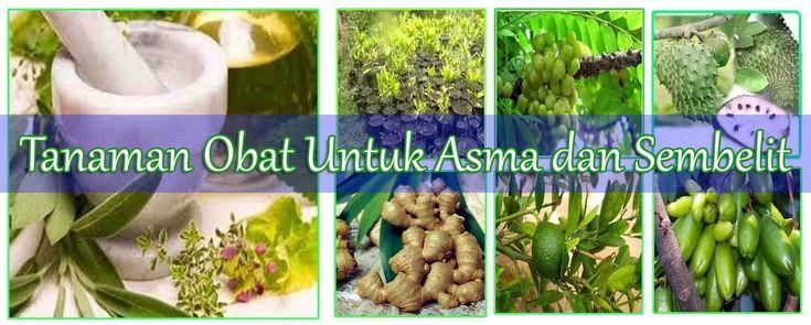 Tanaman obat untuk asma dan sembelit adalah jahe + madu, bunga kenanga kering, dan temulawak memiliki manfaat sebagai antisembelit