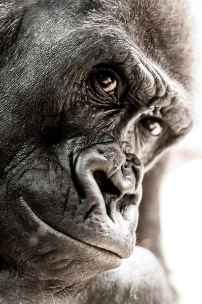 alt: Častými oběťmi lovců jsou mimo jiné gorily…