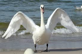 Image result for swan