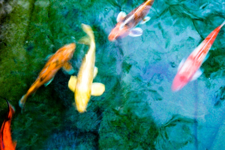 22 best images about botanical garden fish on pinterest for Koi dealers near me