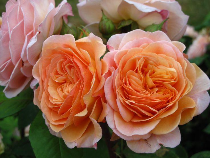 Roser i den vestjyske have...