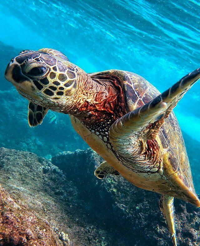 Sea Turtle Ocean turtle, Tortoise turtle