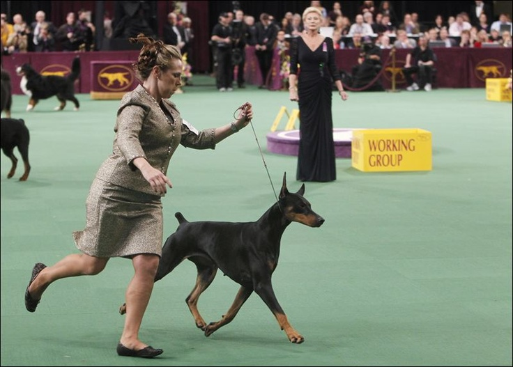 westminster dog show doberman photos