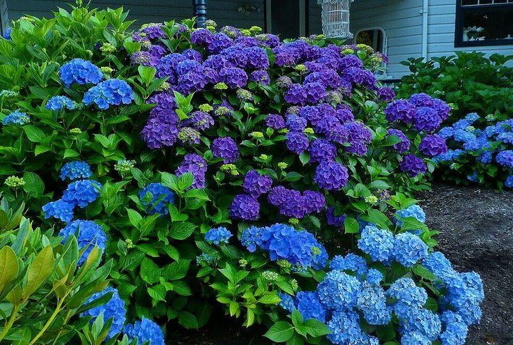 Гортензия крупнолистная по праву считается королевой среди гортензий. Это красивейший декоративный кустарник с эффектной ярко-зелёной листвой и огромными соцветиями.