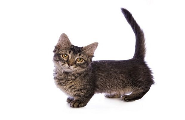 A confident, outgoing breed, the Munchkin is known for its short legs and long body. These little legs to nothing to handicap the breed, however, and it remains playful, happy and loving despite its different appearance.