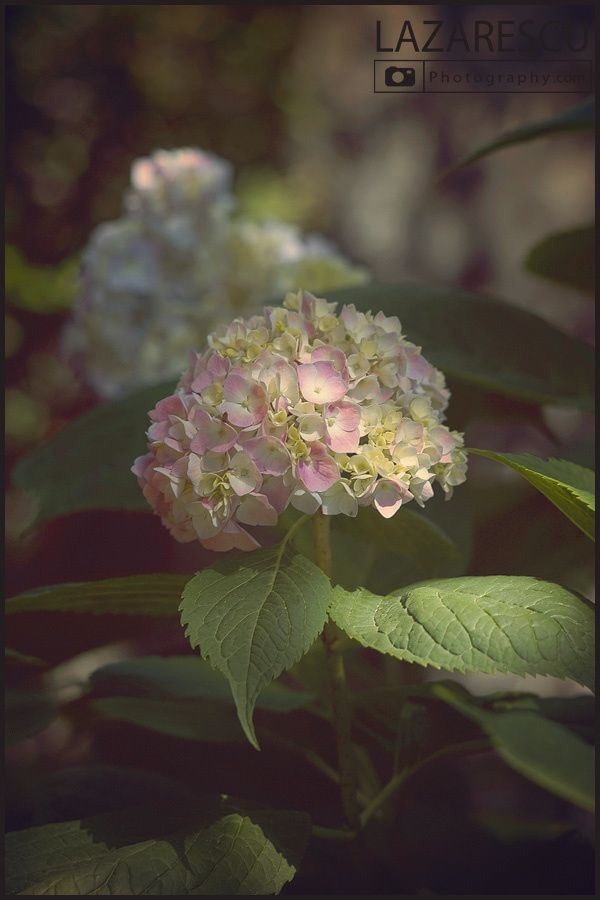 Hydrangea flower by Lazarescu R. Catalin on 500px