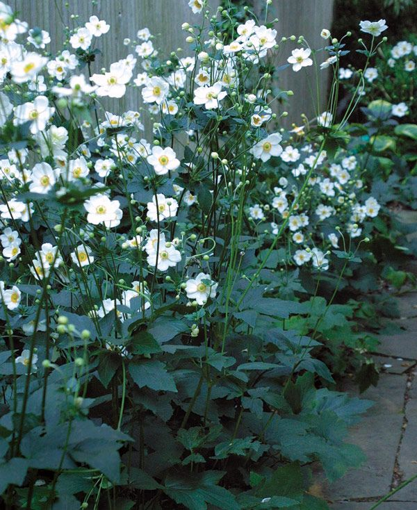 Fall-Blooming Anemones: tolerates shade, divide and plant in early spring