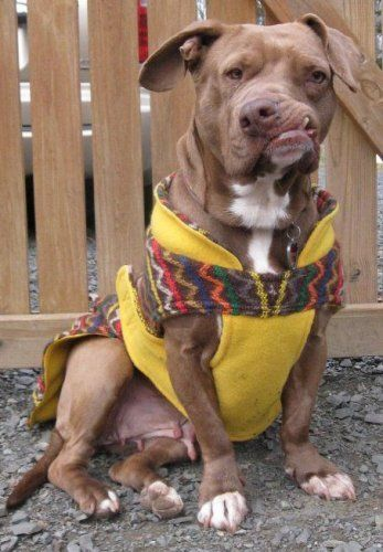 Loving dog who survived many hardships waiting nearly a year for loving home; update: Lucy adopted » DogHeirs | Where Dogs Are Family « Keywords: American Staffordshire Terrier, Columbia, Stray from the Heart