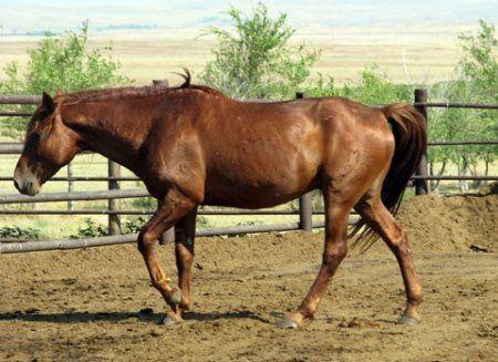Фото лошади кушумской породы рыжей масти