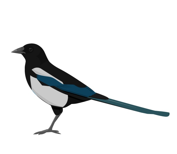 This week: The Common Magpie