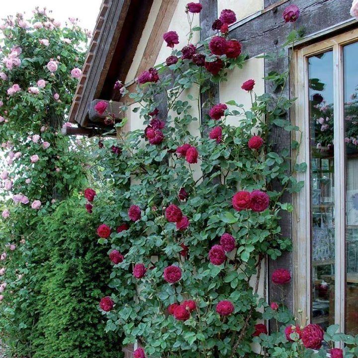 Pin by Éva Szabadka on Virágok Red climbing roses