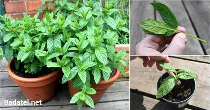 Mäta pieporná je veľmi obľúbenou bylinkou nielen v kulinárskom svete. Zistite, aké zdravotné prínosy nám prináša a prečo ju doma pestovať.