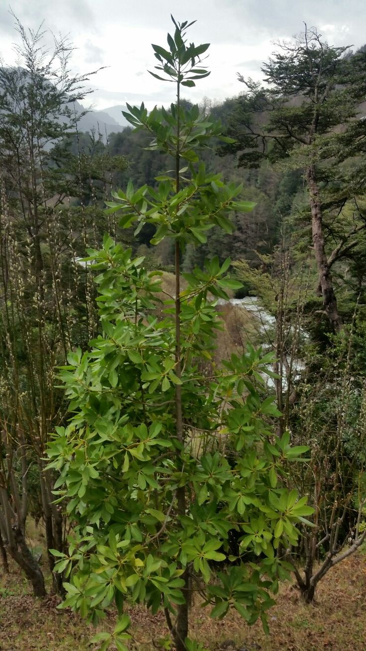 Árbol Canelo, Pucón, Chile