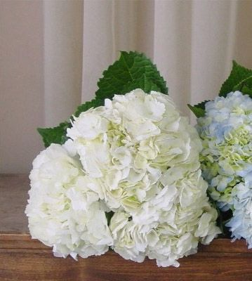 """White Hydrangea, available May through November, vase life of 4-10 days, symbol of """"thank you for understanding,"""" heartlessness and frigidity"""