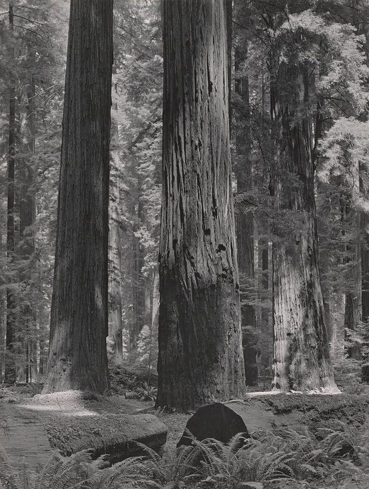 Coast Redwoods, Bull Creek Flat By Ansel Adams
