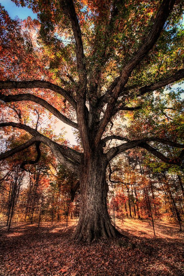 Majestic Oak - Autumn In Greensboro ~ by Dan Carmichael