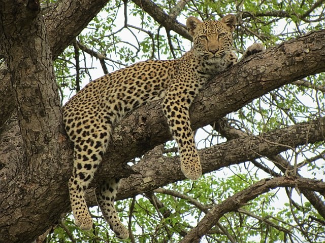 Young female leopard stunningly resting in a tree.  Ngala Game Reserve, South Africa.  Nov 2011.