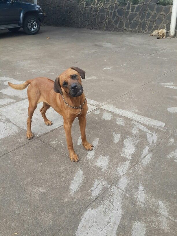 Most Inspiring Boerboel Black Adorable Dog - 25549a7b9477b2f173b17189e4e68995--watches  Pictures_409958  .jpg