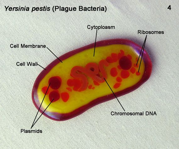 Image result for yersinia pestis