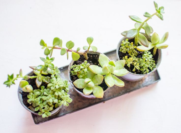 How to keep your succulents alive succulents plants garden